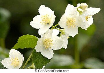 bloem, van, jasmijn