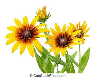bloem, van, rudbeckia, hirta, vrijstaand, op wit