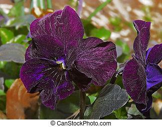 bloem, viooltje