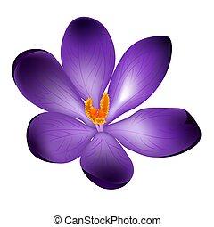 bloem, vrijstaand, illustratie, krokus, vector, achtergrond, witte