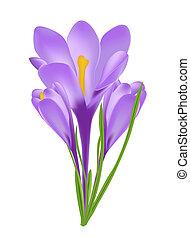 bloem, vrijstaand, illustratie, krokus, vector, witte