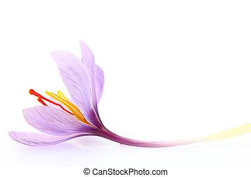 bloem, vrijstaand, saffraan, op, achtergrond, afsluiten, witte