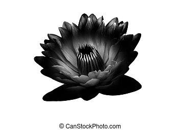 bloem, waterlily, lotus, vrijstaand, witte , of
