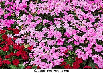 bloemen, achtergrond, impatiens