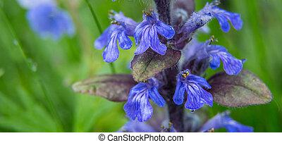bloemen, achtergrond., lente, salvia, dauw, akker, diepte, groene, viooltje, kleine, fris, druppels