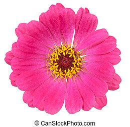 bloemen, achtergrond, vrijstaand, rood wit