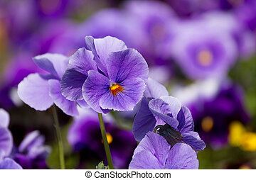 bloemen, altviool