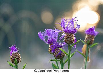 bloemen, de, paarse , blossom , op, een, weide