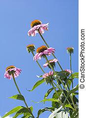 bloemen, echinacea, verticaal