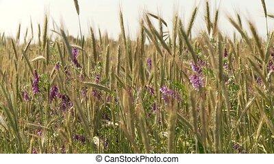 bloemen, grainfield