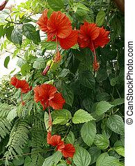 bloemen, hibiscus, rood, rosa-sinensis