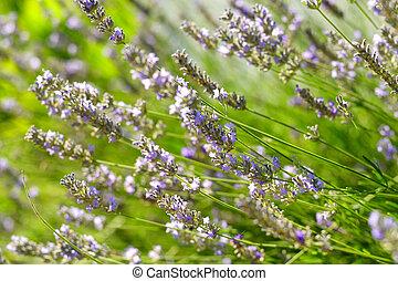 bloemen, lavendel, tuin