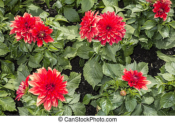bloemen, rood