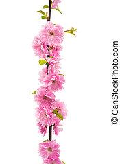 bloemen, sakura