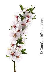 bloemen, van, amandels