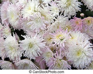 bloemen, van, chrysanthemums
