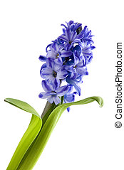bloemen, van, de, hyacint