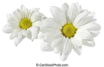 bloemen, van, een, chamomile, op wit