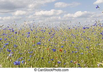 bloemen, velden, van, korenbloem