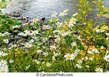 bloemen, zonnig, day., wild, madeliefje, banken, rivier