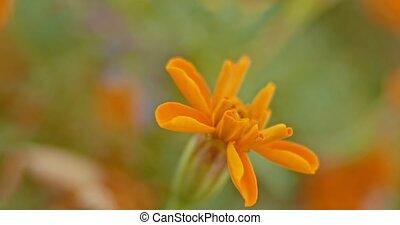 bloemtuin, brandpunt, selectief, sinaasappel, wind