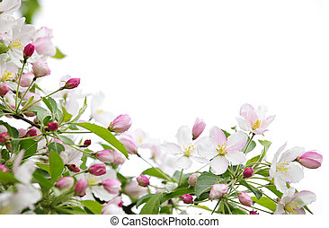 bloesems, appel, achtergrond