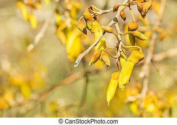 blokken, blomster, kowhai, træ, gul