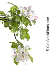 blomma, äpple, isolerat