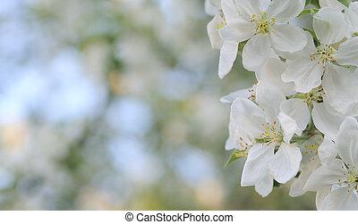 blomma, äpple