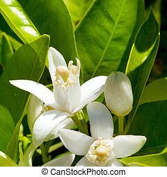 blomma, apelsin blomstra, in, fjäder, in, pollinera