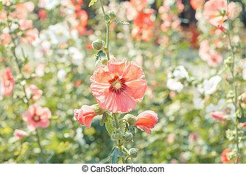 blomma, blomma, Stockros, Trädgård