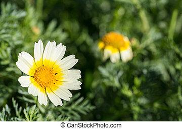 blomma, centrera, gul, fält, grön, tusensköna, vit