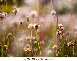 blomma, Gräs, solnedgång