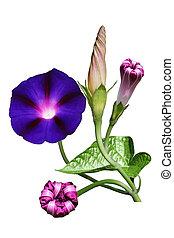 blomma, härlighet, morgon
