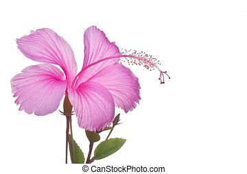 blomma, hibiskus