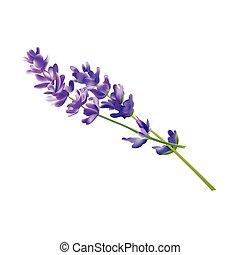 blomma, illustration., elements., lavendel, isolerat, vektor, bakgrund, vit