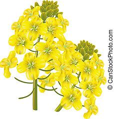 blomma, illustration., vektor, napus)., (brassica, våldta