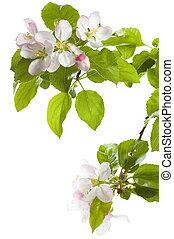blomma, isolerat, över, vit, äpple