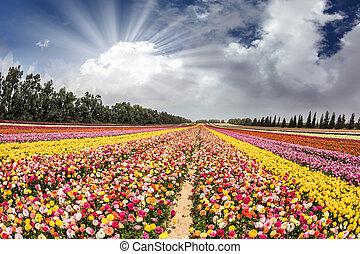 blomma, kibbutz, nära, gaza remsa