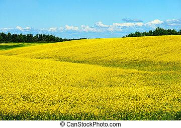 blomma, kullar, canola