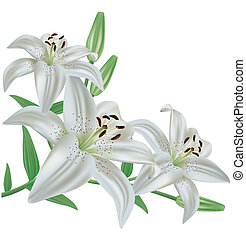 blomma, lilja, isolerat, vita, bakgrund