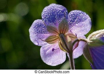 blomma, med, dagg gnuttar