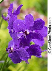 blomma, orkidé