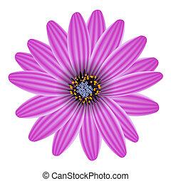 blomma, purpur, isolerat, illustration, vektor, vit