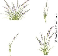 blomma, sätta, lavendel