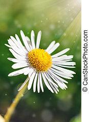 blomma, singel, solsken., bokeh, grön fond, tusensköna