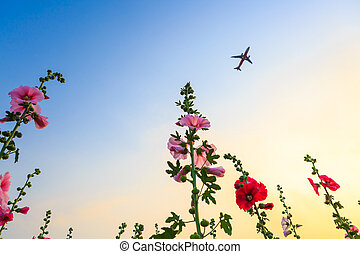 blomma, Trädgård,  sky, plan, Stockros, solnedgång