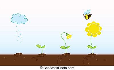 blomma, växande, stegen