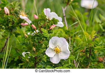 blommig, bakgrund, med, vita blommar