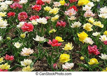 blommig, pattern:, flerfärgad, tulpaner